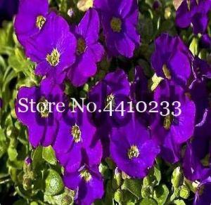 Générique frais 100pcs graines de fleur d'Aubrieta pour planter Purple 2