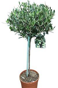 Olea Europaea- Oliviers – Demi-standards – Plantes établies d'environ 100 cm de haut