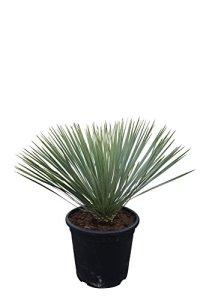 Yucca Rostrata 70 cm.