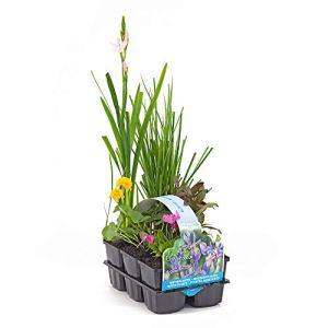 6x Plantes de bassin fleuries | Anemopsis, Bletilla, Iris, Lysimachia, Mazus, Schizostylis | Mélange de plantes aquatiques | Hauteur livraison 20-30cm
