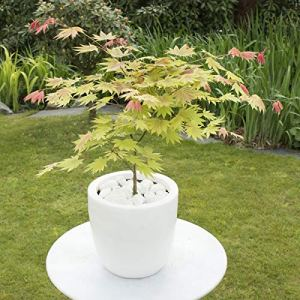 Acer shirasawanum « Moonrise » | Érable du Japon rose | Arbuste d'ornement | Hauteur 50-60cm | Pot Ø 19cm