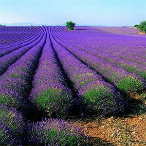 B/H Graines de rares,Fleur Graines,Provence Lavande Vanille Vert graine-2kg