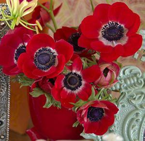 Bulbes à fleurs pour la floraison PRINTEMPS/ÉTÉ/AUTOMNE (10, Anémone ROUGE HOLLANDIA)