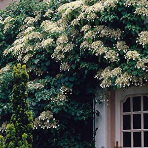 Hydrangea petiolaris | Hortensia grimpant blanc | Plante d'exterieur fleurie | Hauteur 55-65cm | Pot Ø 15cm