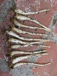 Lot de 10 bulbes d'oignon japonais (Vietnam Cu Kieu)