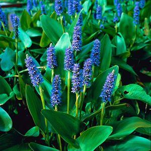 Pontederia cordata | Pontédérie à feuilles en cour violet | Plante fleurie aquatique | Hauteur 20-25cm | Pot Ø 9cm