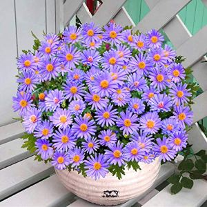 promworld Rare graines de Multicolor,Graines de chrysanthème en pot-10kg,semences vivaces