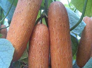 WEKOW 100 Pièces Graine De Concombre Rouge Fruit Légume Graine Plantation Bonsaï Maison Jardin