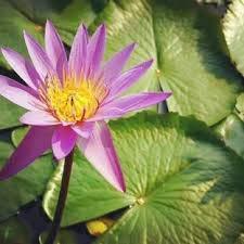 zumari 5pcs graines de fleurs de nénuphar aquatique