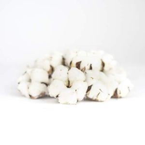 15 véritables fleurs de coton séchées, naturelles, décoration