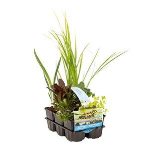 6x Plantes de bassin dépolluantes | Acorus, Carex, Iris, Phragmites, Sparganium, Typha | Mélange de plantes aquatiques | Hauteur livraison 20-30cm
