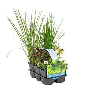 6x Plantes de bassin – Mix INSECT FRIENDLY | Plantes aquatiques fleuries | Hauteur livraison 20-30cm