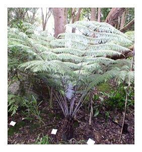 Cyathea dealbata – Fougère arborescente d'argent – 10 graines
