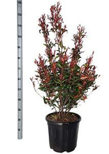 Haies et arbustes de Botanicly – Photinie – Hauteur: 110 cm – Photinia fraseri