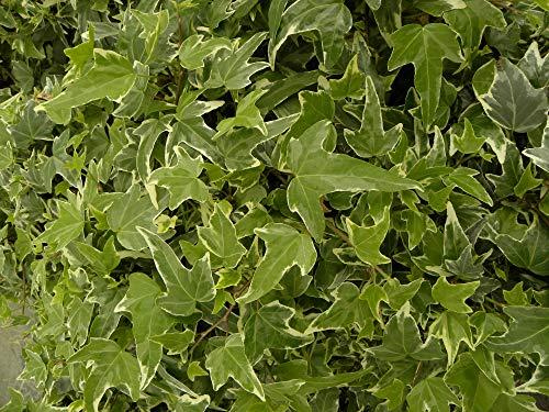 Lierre des Bois Eva C 3 Litres