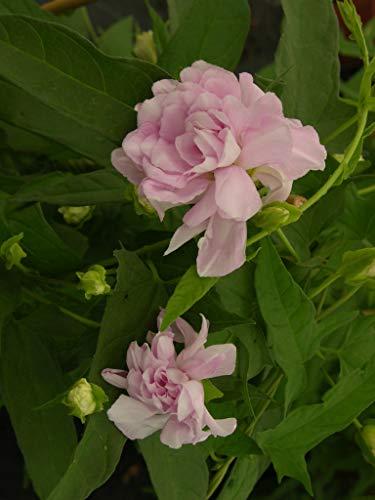 Liseron D'ornement Flore Pleno C 3 Litres