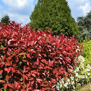 Photinia Red Robin | 40/60 CM | Livraison Gratuite