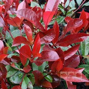Photinia Red Robin en lot de 10 plants | 40/60 CM pot 3 l | Livraison Gratuite