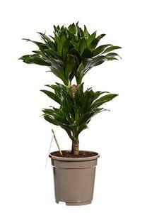 Plante d'intérieur de Botanicly – Dragonnier – Hauteur: 60 cm – Dracaena derem. Compacta