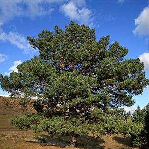 TENGGO Egrow 30 Pcs/Pack Sylvestris Tree Seeds Pinus Sylvestris Tree Semente Plant Chinese Pinus Tree