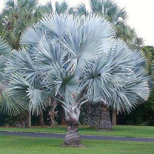 zumari 10 graines de palmier argenté
