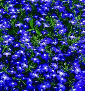 zumari 20 graines de plantes Spilanthes Acmell Oleracea