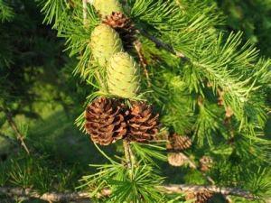 zumari 30 graines d'arbre mélèze de l'ouest