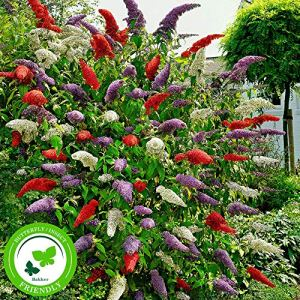 3x Buddleja Davidii – Buddleia de David | Arbres à papillons | Mélange de variétés | Hauteur 25-30cm | Pot Ø 9,5cm