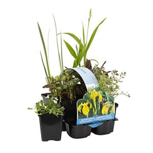 6x Plantes de bassin | Plantes aquatiques fleuries et rustiques | Hauteur livraison 5-50cm | Pot Ø 9 cm