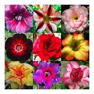 Adenium obesum mixed colours – Rose du désert – Faux baobab couleurs mélangées – 10 graines
