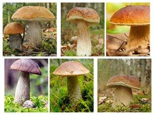 Ensemble de champignons a feuilles caduques – 6 especes – mycélium – graines