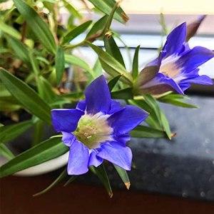 Gentiana en pot des graines de plantes médicinales chinoises vivaces qui ont fleuri cette année-là 300 grains