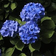 Hortensia macrophylla Adria boutonné | 40 CM | Prêt à planter | Livraison Gratuite