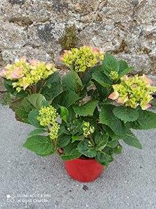Hortensia Macrophylla merveille sanguine pot 4 l/Hortensia rouge / 30 cm en boutons