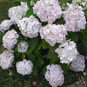 Hortensia macrophylla Soeur Thérèse boutonné | 40 CM | Prêt à planter | Livraison Gratuite