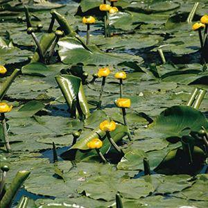 Nuphar lutea | Nénuphar jaune | Plante aquatique | Hauteur 30cm | Pot Ø 11cm