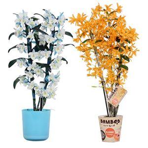 Orchidées de BAMBOO ORCHID – 2 × Bambou Orchidée – Hauteur: 50 cm, 3 pousses, fleurs violettes et blanches – Dendrobium Nobilé