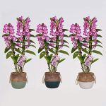 Orchidées de BAMBOO ORCHID – 3 × Bambou Orchidée – Hauteur: 50 cm, 2 pousses – Dendrobium Make Upz Purple