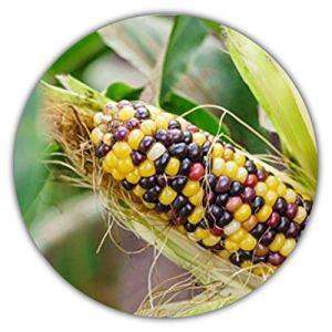 * Rare * arc-en-ciel maïs/maïs coloré/env. 20graines/forme d'origine/selbstversorger