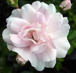 Rosa Sea Foam – Rosier couvre-sol