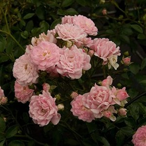 Rosa 'The Fairy' – Rosier couvre-sol The Fairy