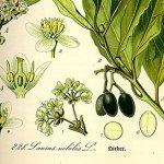 SAFLAX – Laurier vrai – 6 graines – Laurus nobilis