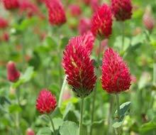 zumari 100 graines de plantes French Crimson Clover