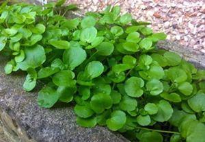 zumari 100 graines de plantes WATERCRESS