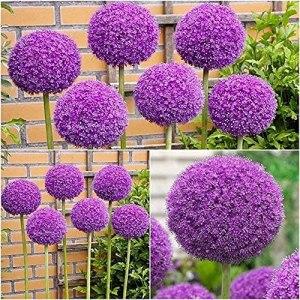 5Pièces bulbes d'allium violet foncé fleurissant oignon vivace intérieur extérieur belles fleurs de printemps ampoules prêtes à planter