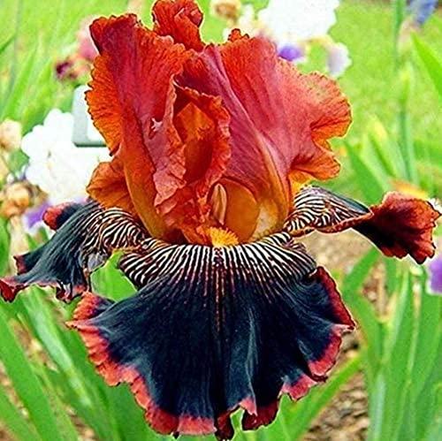 6 Pièces Iris Ampoules Hardy Iris Coloré Rare Bulbes De Fleurs Vivaces Maison Jardin