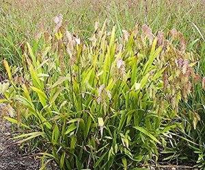 Aamish 50pcs graines de gazon Chasmanthium latifolium