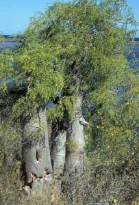 Genipap 5 graines d'arbre bouteille Moringa drouhardii