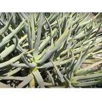 Pcs – 1000x Aloe Ramosissima Sukkulente Jardin Plantes – Graines XL-B639 – Seeds Plants Shop Samenbank Pfullingen Patrik Ipsa