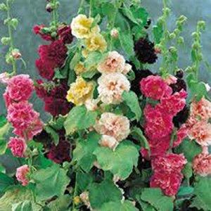Rose trémière, rose, rouge et jaune 500 graines BIO HÉRITAGE, BELLE